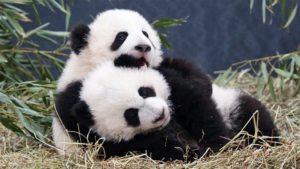 panda-dreaming